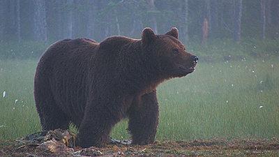 Stabilization of wildlifefootage-bear.jpg