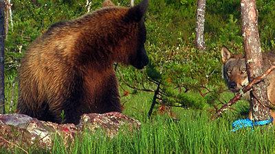 Stabilization of wildlifefootage-bear-wolf.jpg