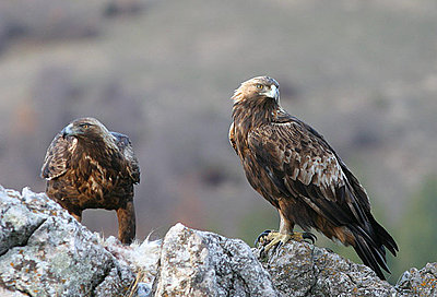What settings for safari-golden-eagles.jpg