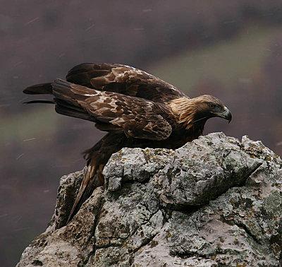 Golden Eagle lands in Spatia-img_9280-copy.jpg