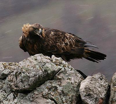 Golden Eagle lands in Spatia-img_9306-copy.jpg