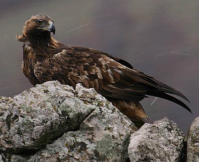 Golden Eagle lands in Spatia-img_9360-copy.jpg