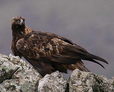 Golden Eagle lands in Spatia-img_9417.copy.jpg