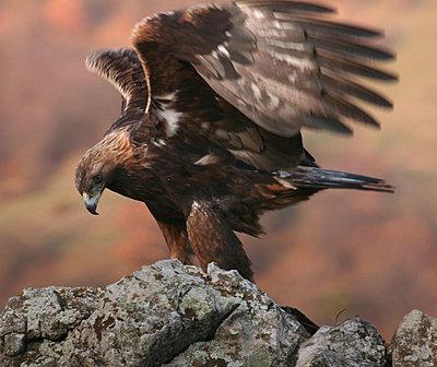 Golden Eagle lands in Spatia-golden-eagle-copy.jpg