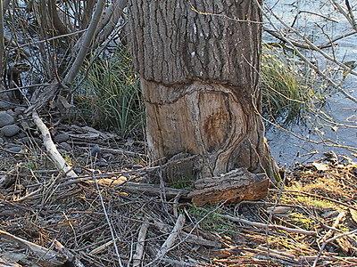 Beaver footage-dsc00106.jpg