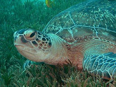 Red Sea - Lots of juicy pics :-)-green_turtle_low.jpg
