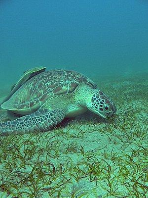 Red Sea - Lots of juicy pics :-)-green_feeding_low.jpg