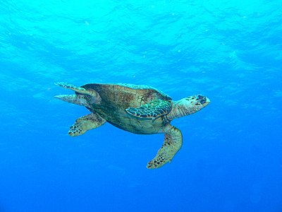 Red Sea - Lots of juicy pics :-)-hawksbill_low.jpg