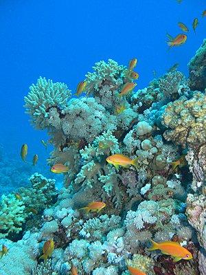 Red Sea - Lots of juicy pics :-)-reef-orangefish_low.jpg