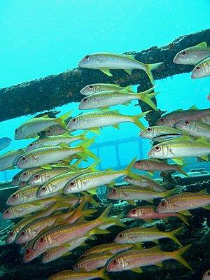 Red Sea - Lots of juicy pics :-)-school-wreck_low.jpg