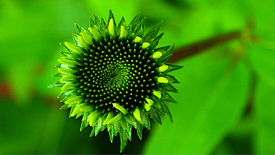 Tales of Wonder and Woe - UWOL #14-coneflower3.jpg
