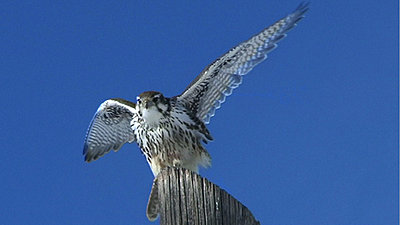 More Fun and Games... Falcons!-pf2sm.jpg