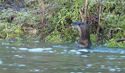 UWOL37 - Tales of wonders and woes-otter-alert-1.jpg