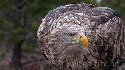 Naesje_Nordic_Wildlife_UWOLLongForm 09-whitetailedeagle2.jpg