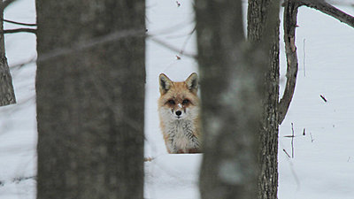 Next UWOL Challenge?-fox1.jpg