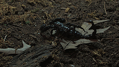 "UC29-""Why do scorpions glow in the dark?""- Mike Sims-shadow-before.jpg"