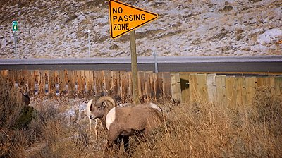 Fire & Ice by Kevin J Railsback - UWOL 36-sheep2-copy.jpg