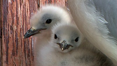 "UWOL#4 ""Born by the sea"" by Geir Inge B. Brekke-babykittiwake.jpg"
