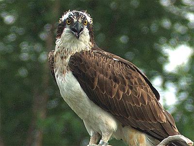 Tales of Wonder and Woe: UWOL #5-osprey.jpg
